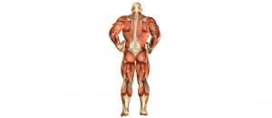 Мышечные волокна и мышечные клетки